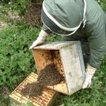 hiving-a-swarm